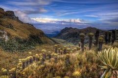 Paramo colombiano con las plantas de Espeletia Imagenes de archivo