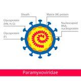 Paramyxoviridae Ταξινόμηση των ιών ελεύθερη απεικόνιση δικαιώματος