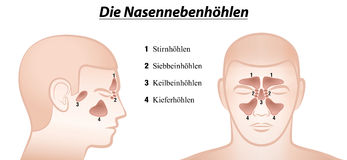 Paranasal Sinuses German Names Stock Image