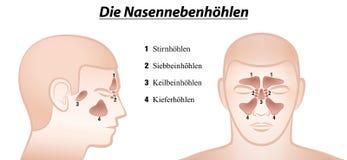 Paranasal Sinuses German Names Stock Image