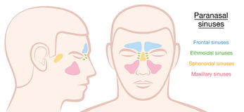 Paranasal Sinuses Male Face Stock Image