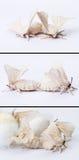 parande ihop malsilkworm Arkivfoto