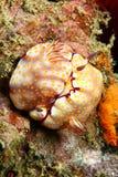 parande ihop nudibranch Royaltyfri Fotografi