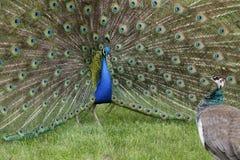 parande ihop påfågelsäsong Royaltyfri Foto