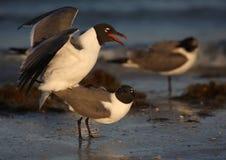 parande ihop seagulls Royaltyfri Bild