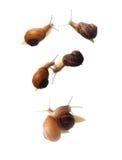 parande ihop snails Arkivbild