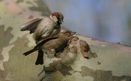 parande ihop sparrows för hus royaltyfria bilder