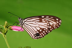 Parantica aglea/fjäril på blomma Royaltyfri Bild