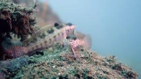 Parapercis snyderi eller U-fläck Sandperch Royaltyfri Fotografi