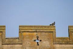 Parapet Pigeon Stock Images