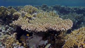Parapharaonis del Acropora Fotografia Stock