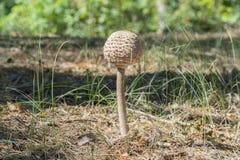 parapluie de champignon dans le champignon-parapluie de forêt dans la forêt d'automne, dans un dégagement au soleil photos stock