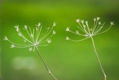 Parapluies d'herbe sèche, sur un fond vert Image libre de droits