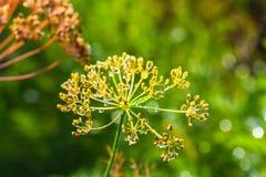 Parapluies de fenouil parfumé d'aneth de graines avec la baisse de rosée Image libre de droits