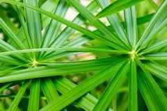 Parapluinstallatie, Cyperaceae, papyrus royalty-vrije stock fotografie