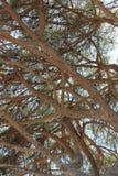 Paraplupijnboom Stock Afbeeldingen