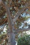 Paraplupijnboom Stock Afbeelding