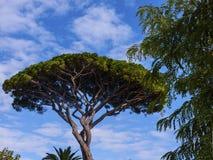 Paraplupijnboom in Tuinen van La Certosa op het Eiland Capri royalty-vrije stock foto's