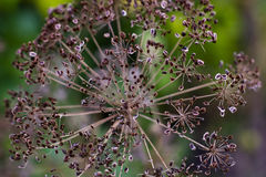 Paraply torkad dill (Anethumgraveolens) Royaltyfria Foton
