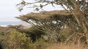 Paraplyträd på kanten av den Ngorongoro krater Arkivbild