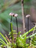 Paraquedas da crina que cresce na floresta imagens de stock