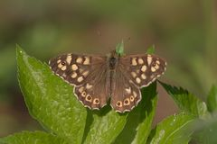 Pararge aegeria. A speckled wood butterfly sitting on a leaf stock image