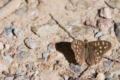 Pararge aegeria - Butterfly Stock Photography