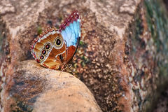 Pararge aegeria Piękny motyl z błękita i brązu skrzydłami Zdjęcie Stock