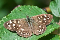 Pararge aegeria or speckled wood butterfly basking in english summer Stock Photos