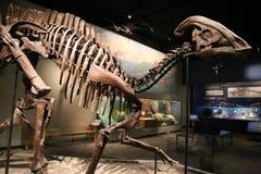 Parasaurolophus lizenzfreie stockfotografie