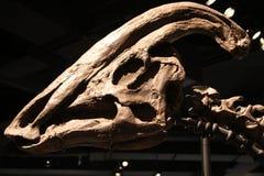 Parasaurolophus skull Stock Image