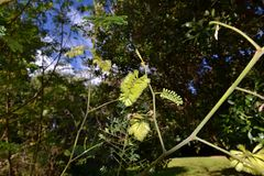 Paraserianthes lophantha zdjęcia royalty free