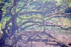 Parasit auf Baum Lizenzfreies Stockfoto