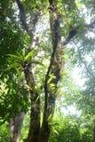 Parasit auf Baum Stockbild