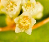 Parasit för blommagulingväxt Arkivbild
