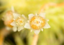 Parasit för blommagulingväxt Fotografering för Bildbyråer