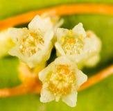 Parasit för blommagulingväxt Royaltyfri Bild