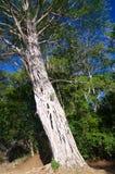 Parasita da árvore de figo do Strangler Imagem de Stock Royalty Free