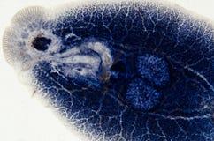 Parasite Benedenia de poissons d'aquiculture image libre de droits