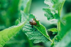 Parasite Colorado beetle on a potato leaf. Colorado beetle close-up on a piece of potato. Parasite in nature royalty free stock photography