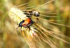 Parasite d'insecte de lat agricole de scarabée de grain de cultures Austriaca d'Anisoplia Photo stock