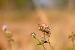 Parasite de jardin d'insecte de sauterelle de Brown Photos stock