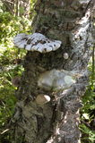 Parasite fungi growing on an old birch tree trunk. Royalty Free Stock Images