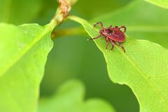 Parasite mite sitting on a green leaf. Danger of tick bite Royalty Free Stock Photo
