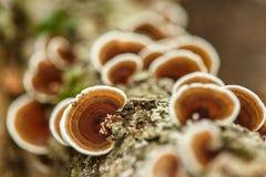 Parasite mushrooms on tree Royalty Free Stock Photo