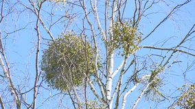 Parasite plants grow on birch tree branches. Tree trunk move in wind on blue sky background. Static closeup stock footage