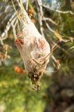 Parasite Processionary Images libres de droits