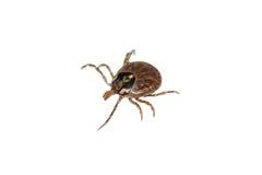 Parasite tick stock images
