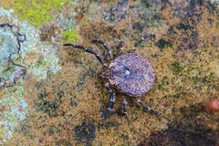 Parasite tick on ground Royalty Free Stock Photo