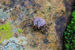 Parasite tick on ground Royalty Free Stock Image